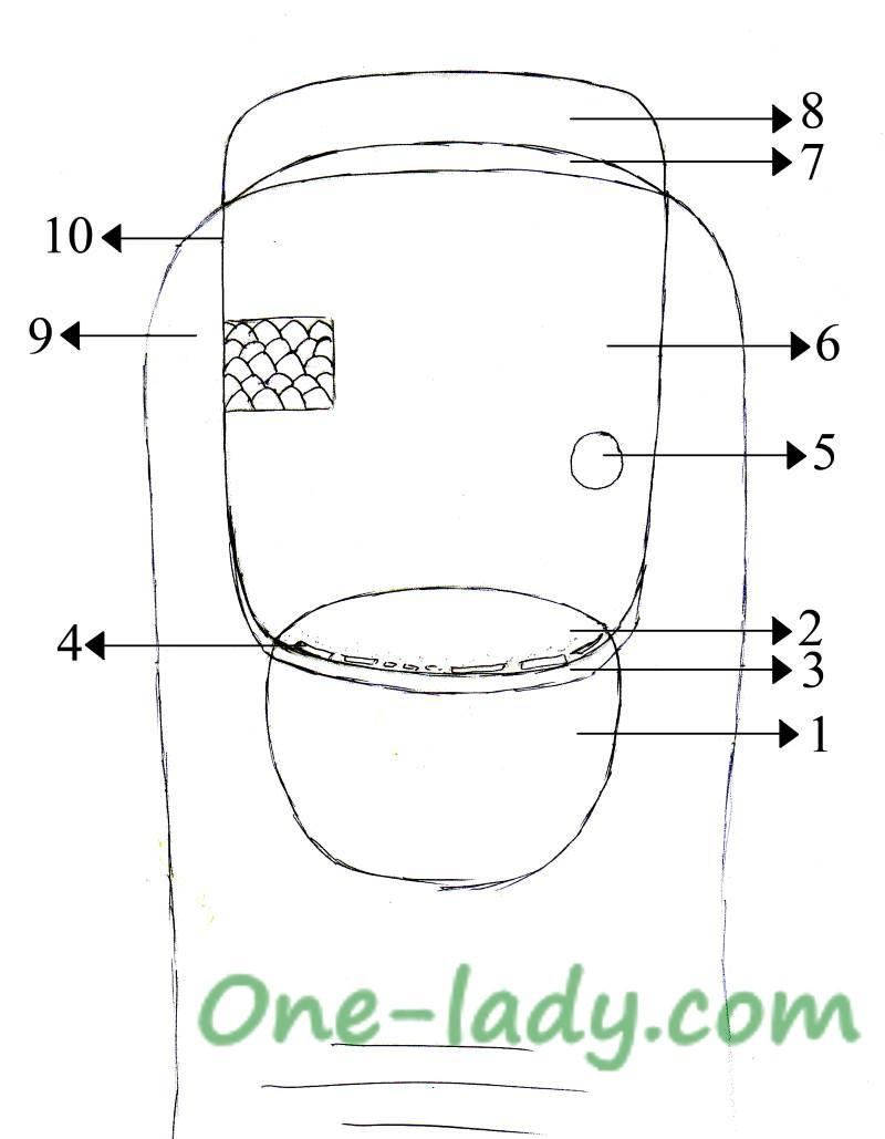 Строение ногтевой пластины рисунок